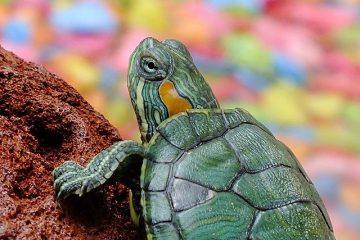 tartaruga verde subindo um pequeno morro de terra