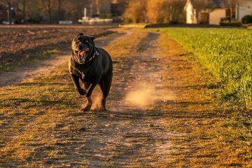 cachorro correndo atrás atacando