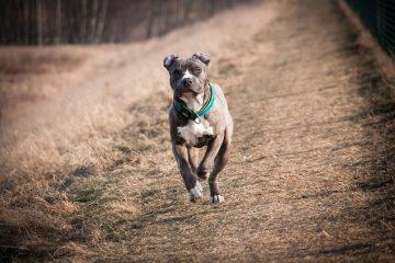 cachorro bravo pitbull correndo