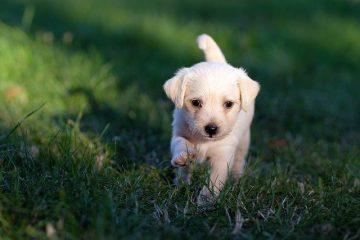 cachorro filhote correndo na grama verde