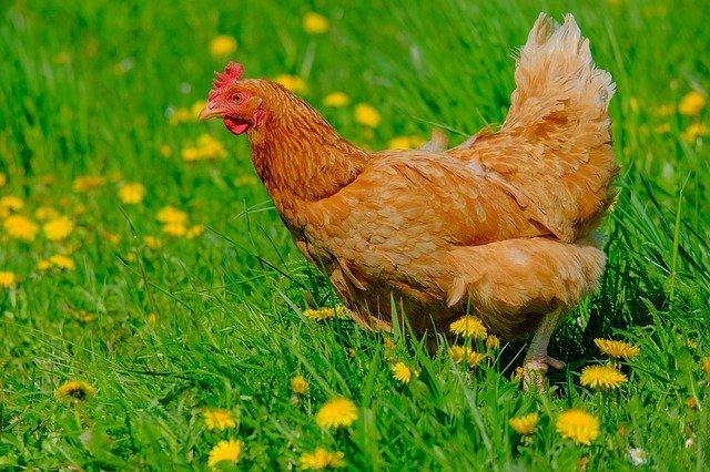 galinha amarela ciscando na grama verde
