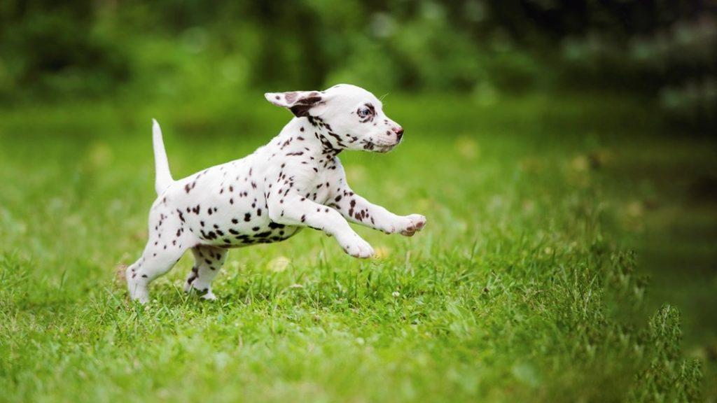 cachorro dálmata correndo no gramado do jardim