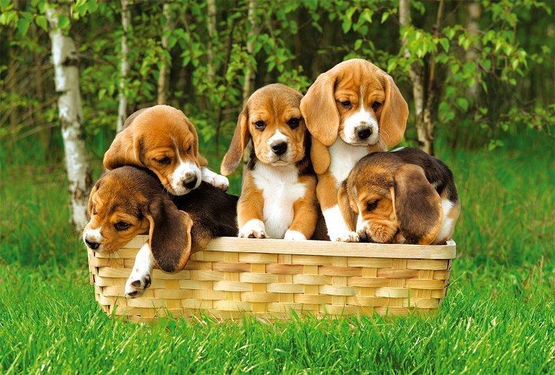 cinco cachorros beagle filhotes dentro de uma cesta no jardim