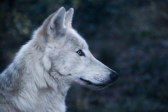 lobo branco acinzentado