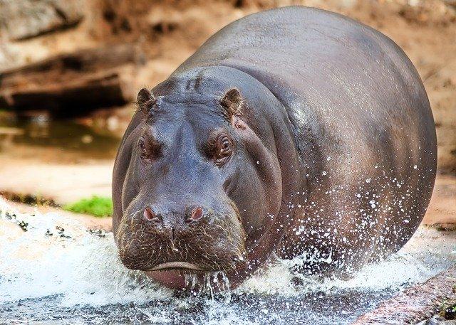 hipopótamo saindo da água