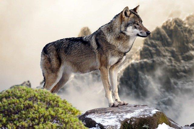 lobo olhando a paisagem procurando uma presa
