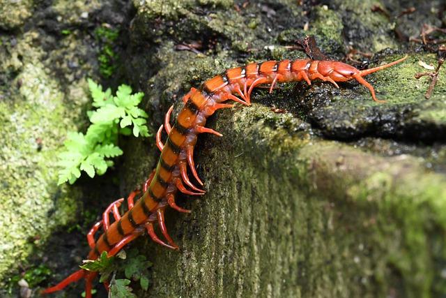 centopeia avermelhada com listras pretas na natureza