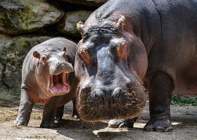 hipopótamo grande e hipopótamo bebê