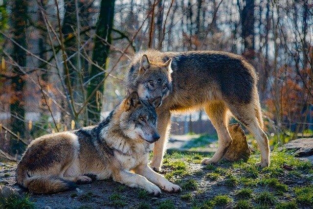 dois lobos iguais