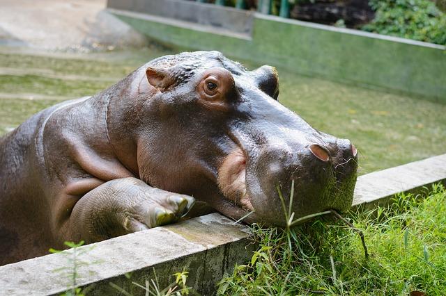 hipopótamo olhando pela cerca