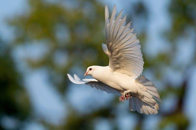 pombo branco voando livremente na natureza