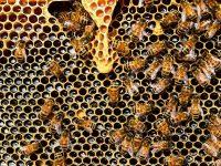 abelhas fazendo mel na colmeia