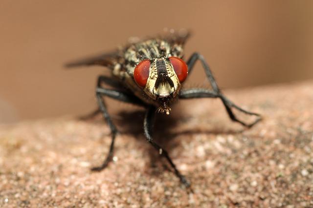 mosquito preto com olhos vermelhos