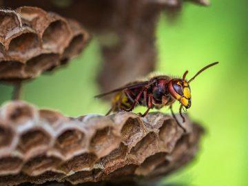 vespa rainha no ninho